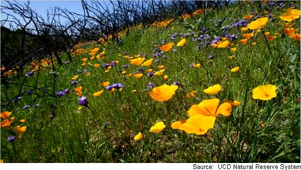 Picture of a field of poppies at the reserve